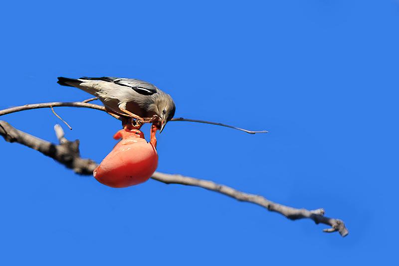 柿子  鸟_MG_6578.jpg
