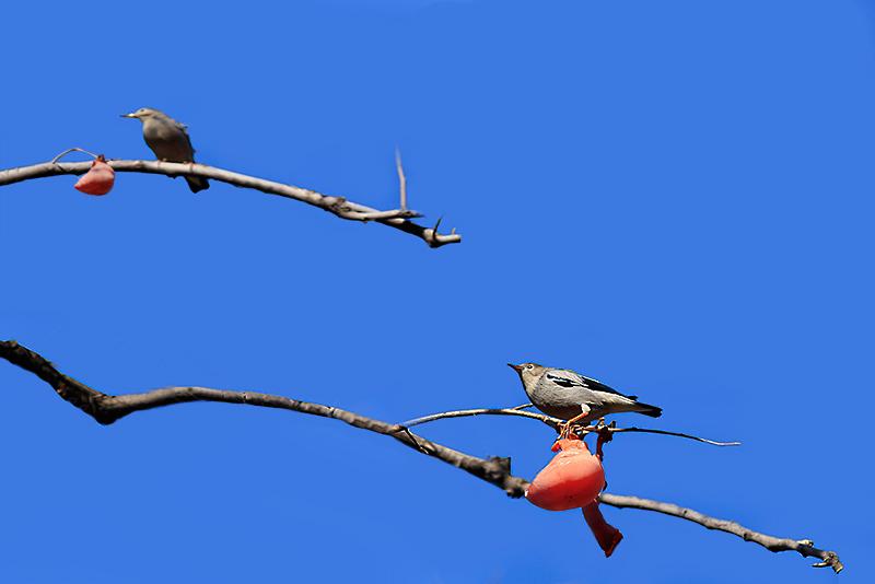 柿子  鸟_MG_6582.jpg