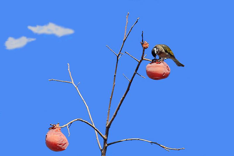 柿子  鸟_MG_6588.jpg