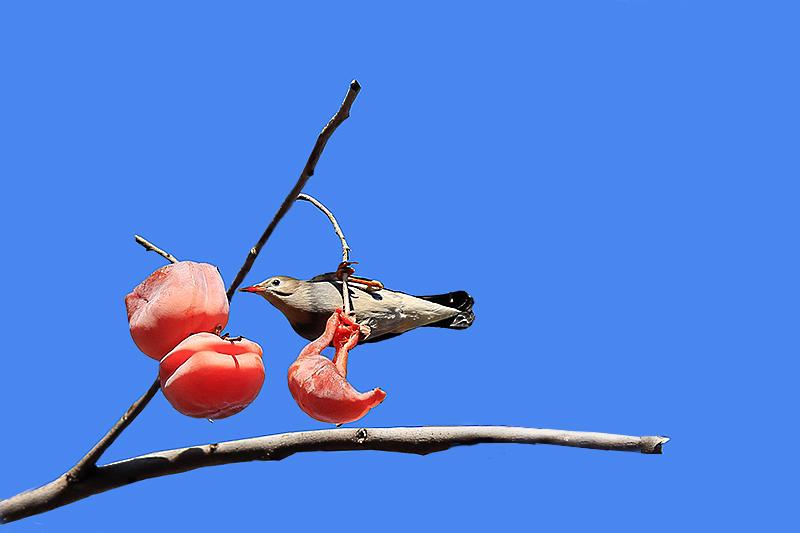 柿子  鸟_MG_6585.jpg